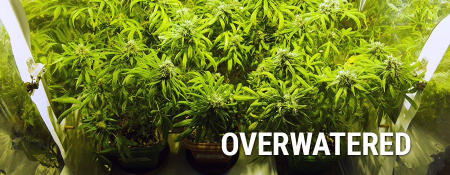 Over watering marijuana plants