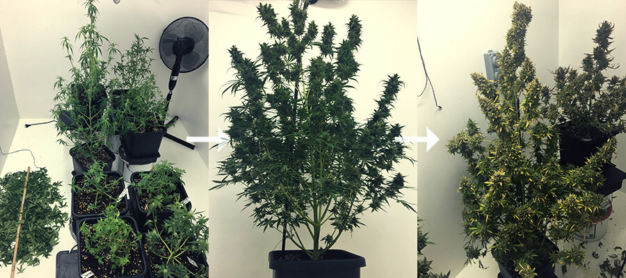 Pruning during flowering