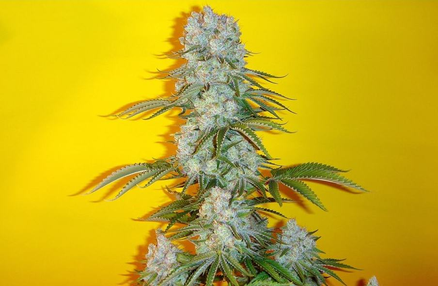 Fruity marijuana strains
