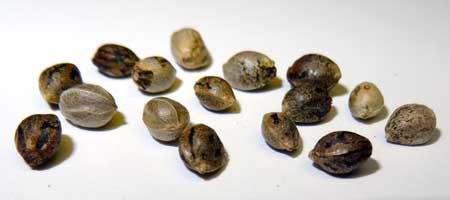 How to tell if a marijuana seed is good