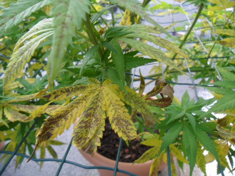 Manganese deficiency cannabis