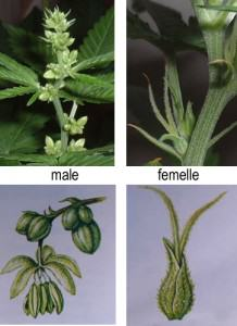 Pics of male pot plants