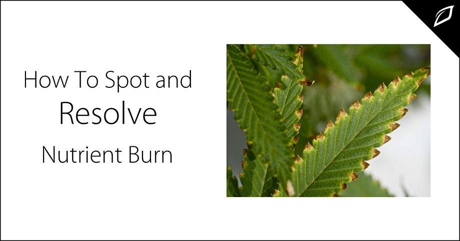 Marijuana nutrient burn