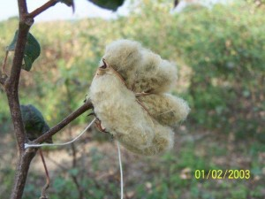 Buy cotton seeds
