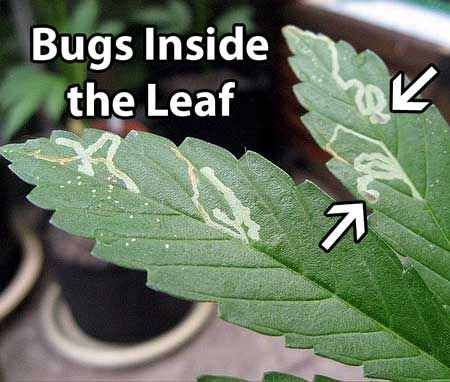 Common cannabis pests