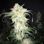 Afghan kush seeds for sale