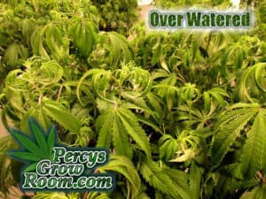 Over watering weed