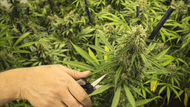Pruning cannabis for maximum yield