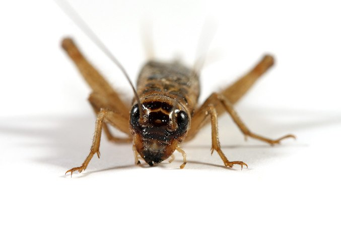 What can i use to get rid of crickets