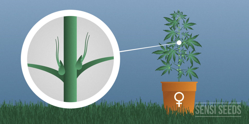 Sexing cannabis plant