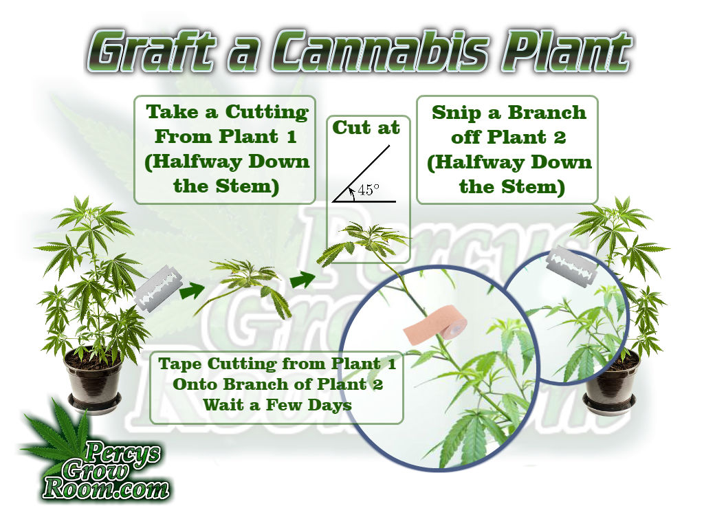 Grafting marijuana plants